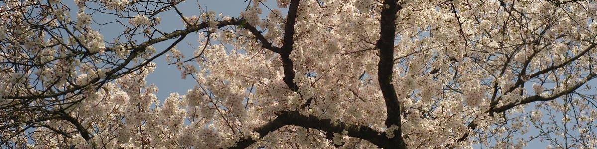 広島市江波山公園 江波山桜